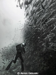 Diver in school of fish, Atlantis Reef, Cape Town. by Aaron Gekoski 